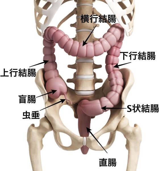 消化管 構造 機能 大腸部位名