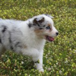 Australian Shepards For Sale Florida