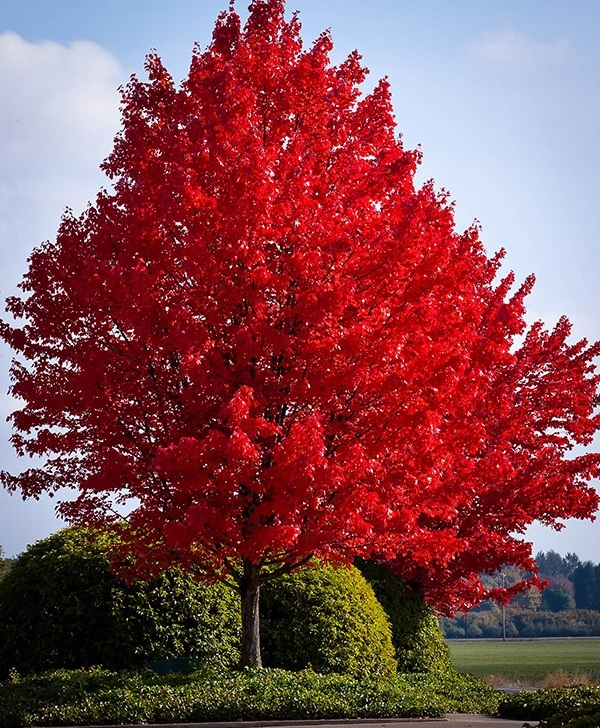 american-red-maple-1
