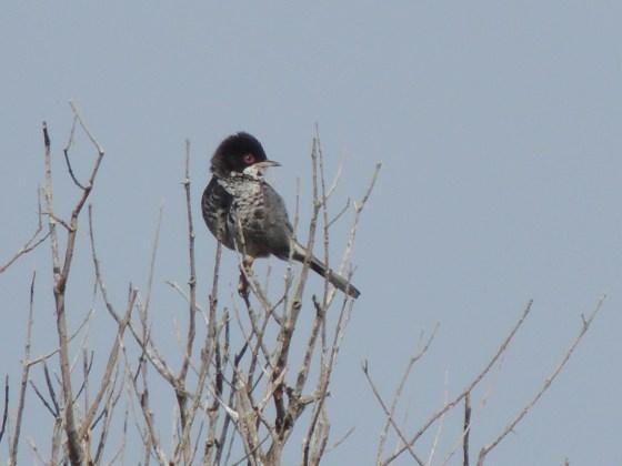 Cyprus Warbler