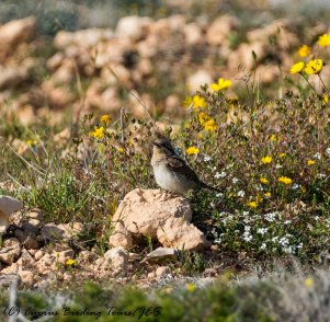Eurasian Wryneck, Cape Greco, 30th March 2017 (c) Cyprus Birding Tours