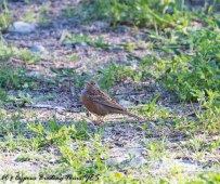 Cretzschmar's Bunting, Germasogeia Dam, 8th April 2017-1