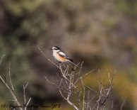 Masked Shrike, Prastio Kellakiou 7th April 2017-1