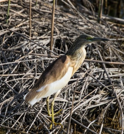 Squacco Heron, Zakaki Marsh, 11th April 2017 (c) Cyprus Birding Tours