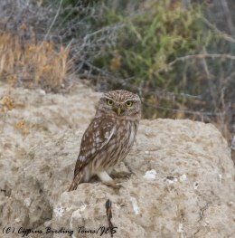 Little Owl, Larnaca Salt Lake, 18th May 2017 (c) Cyprus Birding Tours