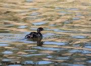 Juvenile Little Grebe, Athalassa Dam, 22nd June 2017 (c) Cyprus Birding Tours