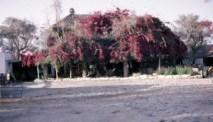Cyprus, Newmans Farm Kyrenia, Bourganvillia