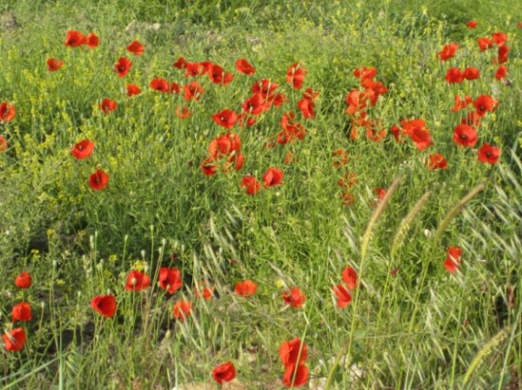 Poppies at Arodes