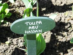 Abu Hassan Tulip (1)