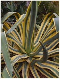 Nature - Agave - Gardening can be dangerous