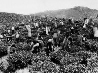 Tea picking in Ceylon