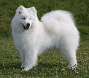 pics of Samoyed Breed in nigeria