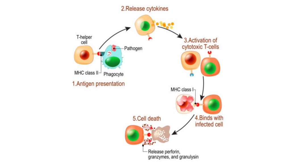 5 steps of T cell activation 1. antigen presentation 2. release cytokines 3. activation of cytotoxic T cells 4. T cell binds with infected cell and 5. cell death