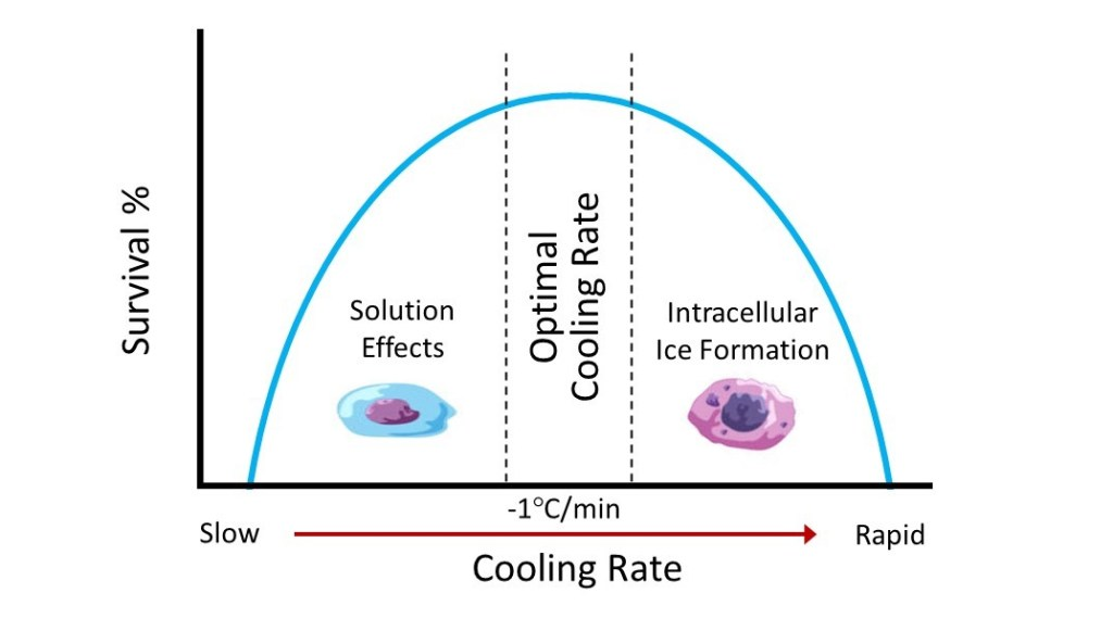 Optimal freezing rate for cells