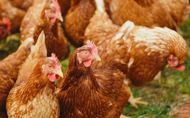 Czech Republic reports H5N8 bird flu outbreak at poultry farm - Czech Points