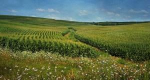 Maisfeld von weitem