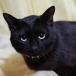 【豆知識】黒猫は幸?不幸?間違った伝わり方で変わってしまった黒猫の扱い