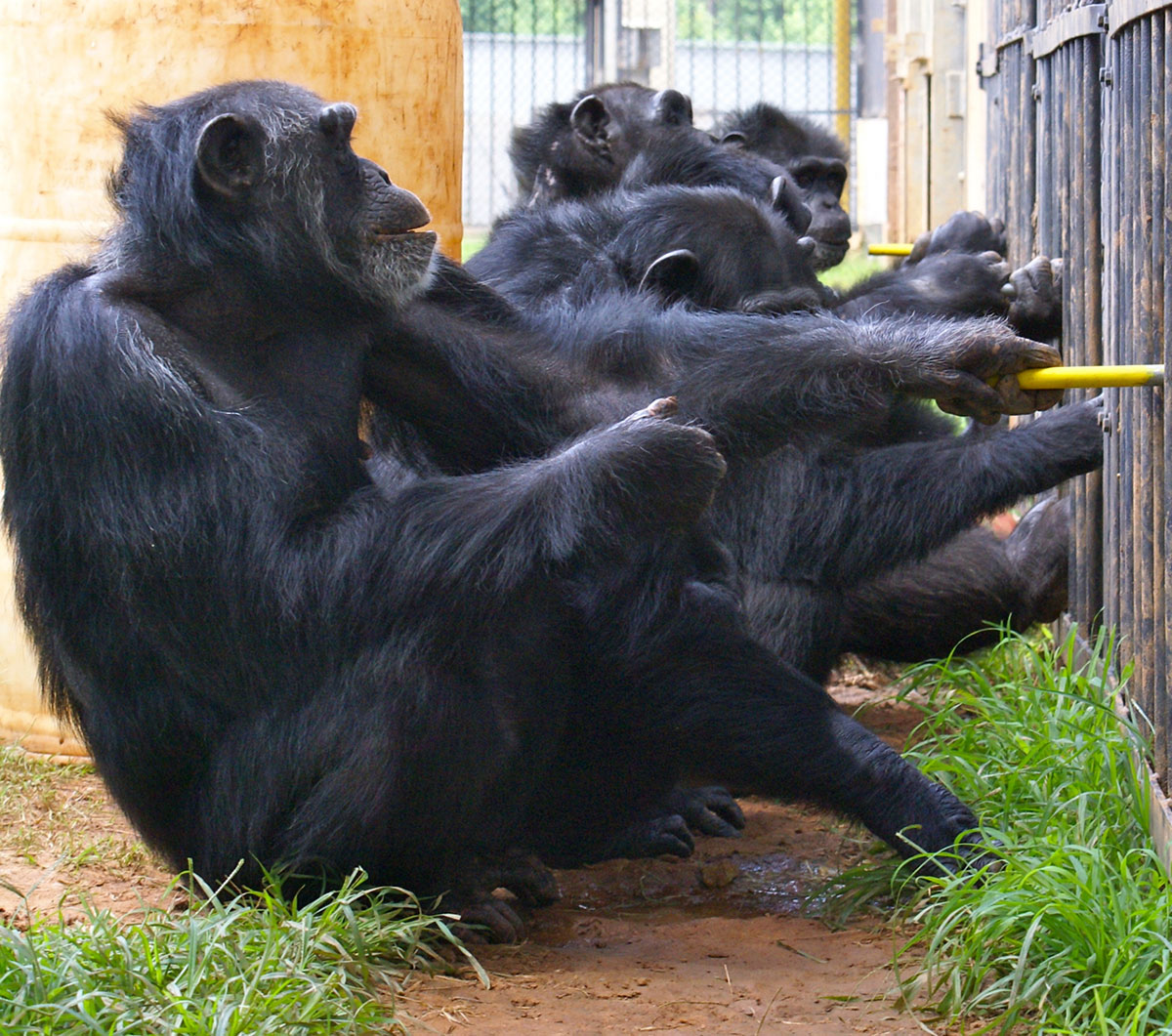 Cooperation Not Competition How Chimpanzees Work Together