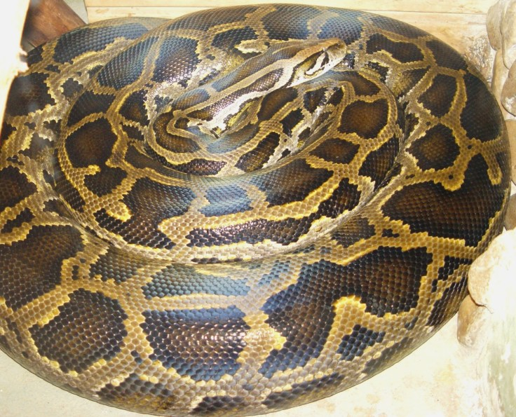 How giant Burmese pythons regenerate their organs