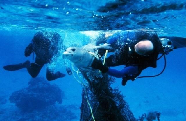 Sea lion trapped in plastic