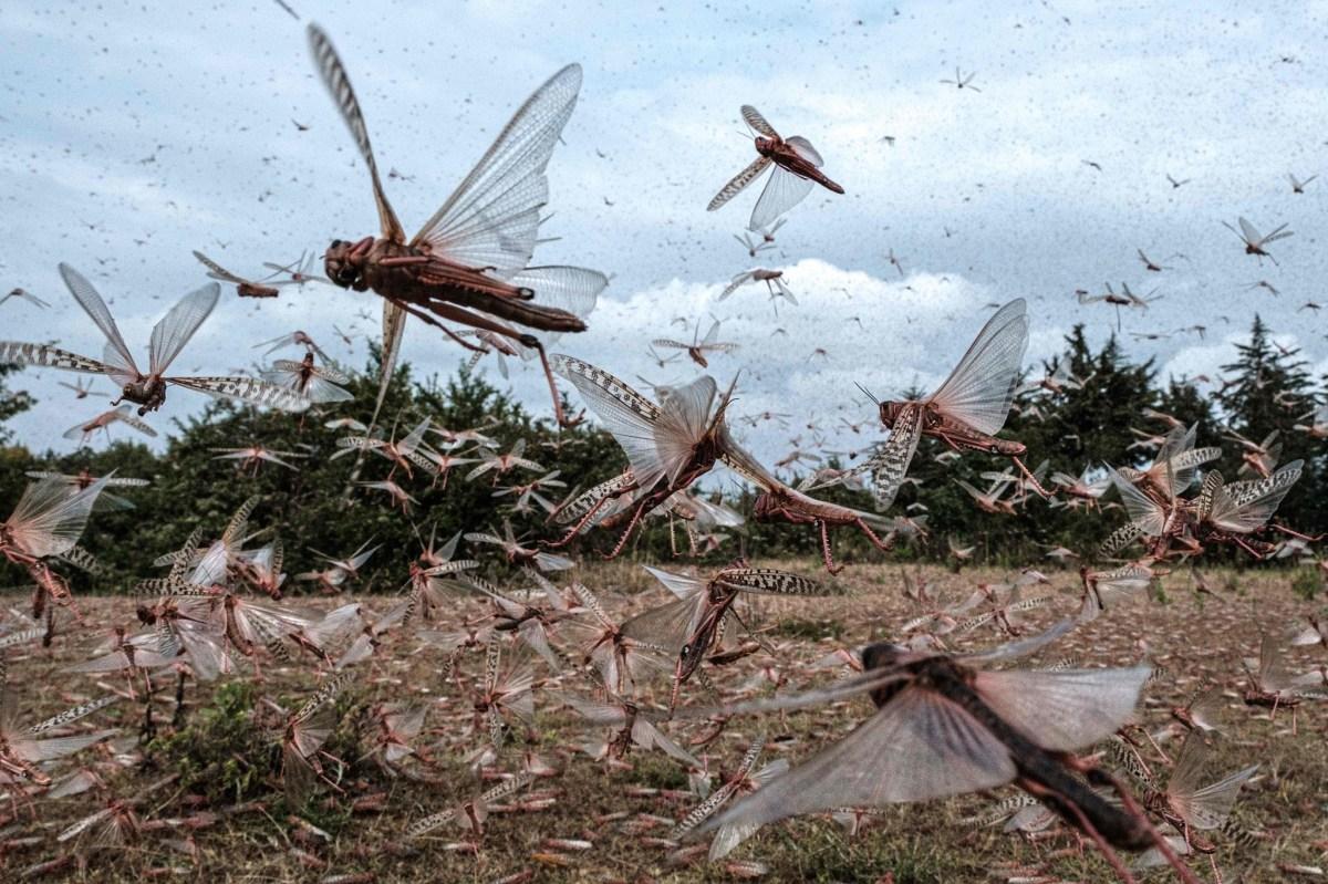 慎入:新一轮蝗灾侵袭东非 漫天蝗虫密密麻麻