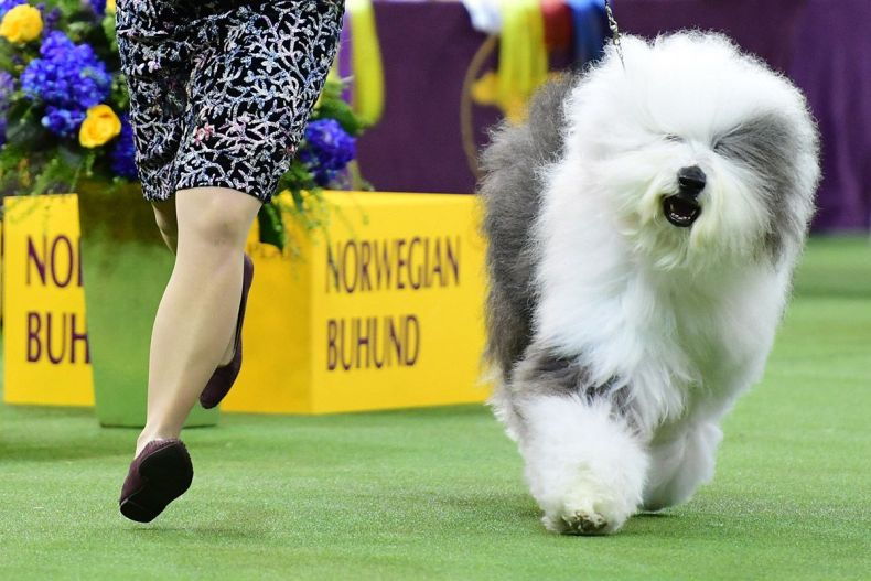 14 Westminster Kennel Club dog show