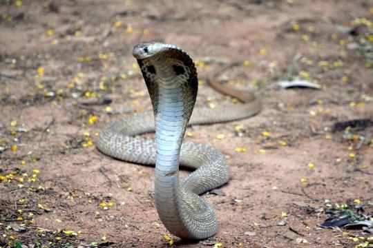 Image result for image of cobra