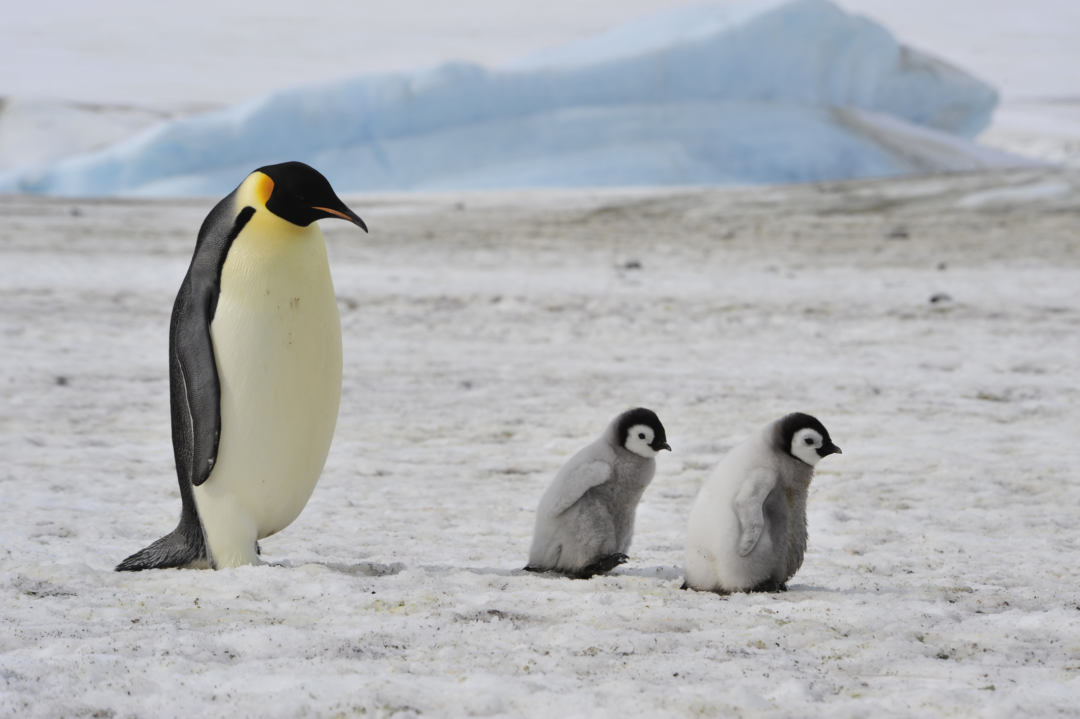 Emperor Penguins Marching To Extinction If We Don T
