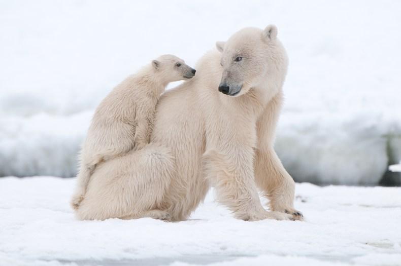 polar bear, arctic, getty, stock