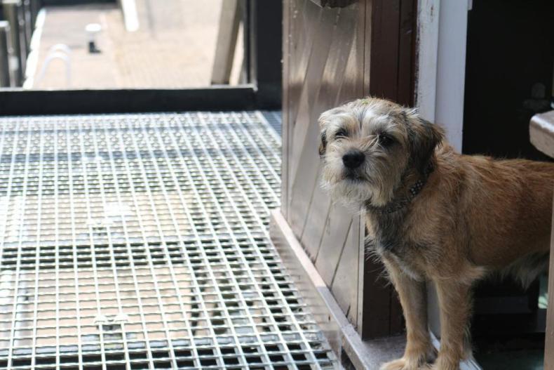#20. Border terrier