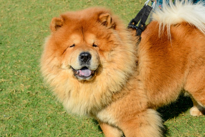 Chow Chow in India 2020 dog show