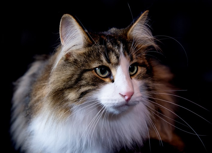 Maine coon cat U.K.