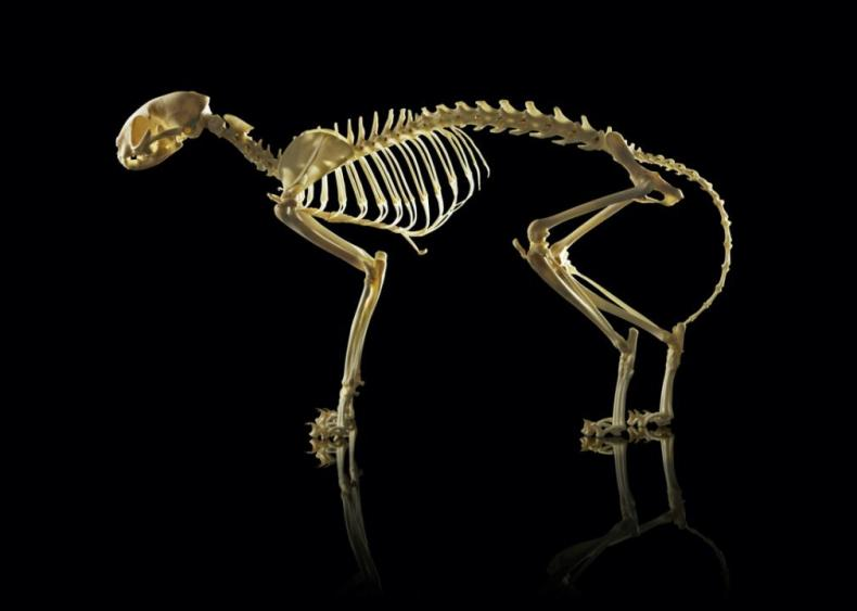 How many bones are in a cat's body?