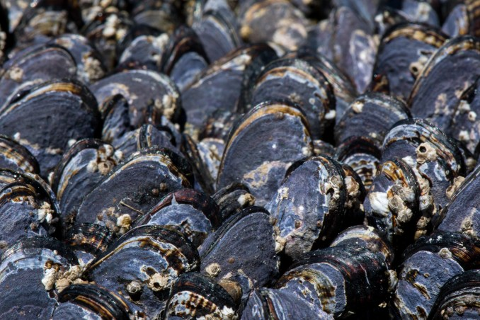 Mussel shells with barnacles growing on them