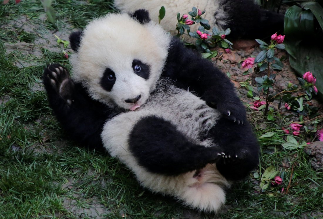 Panda Video Goes Viral After Keepers in Chengdu Accused of Animal Cruelty