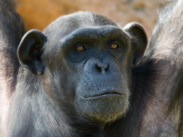 bili chimp bondo chimp bili apes kill lions bondo ape eating leopard giant chimp congo lion killer bondo ape eating jaguar bondo ape eating jaguar video bili ape documentary