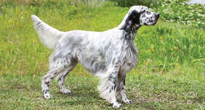 A long-haired Dalmatian