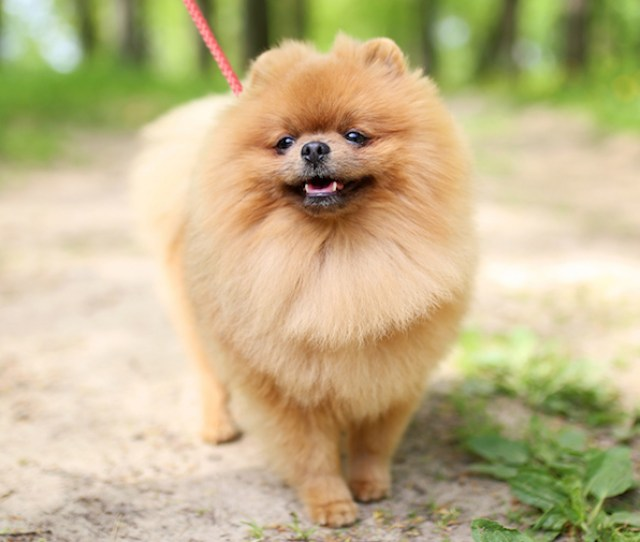 Pomeranian Dog Walking On A Trail