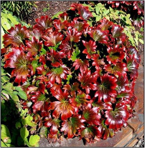 Mukdenia rossii 'Karasuba' | Aceriphyllum rossii 'Karasuba ...