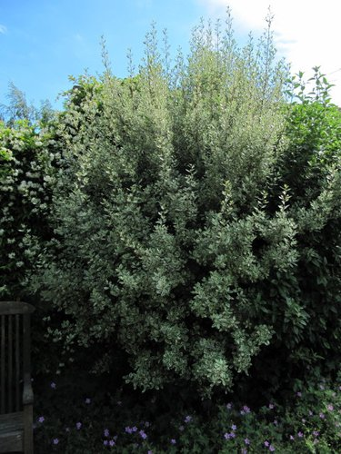 Rhamnus Alaternus Argenteovariegata Rhamnus Alaternus