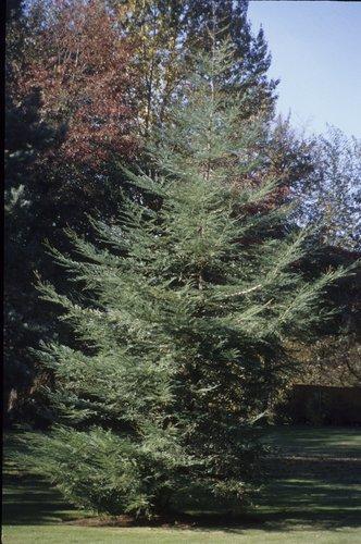 Sequoia Sempervirens Soquel Soquel Coast Redwood