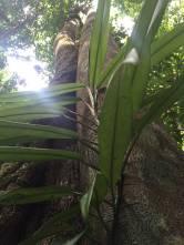 Tall trees Mossman Gorge