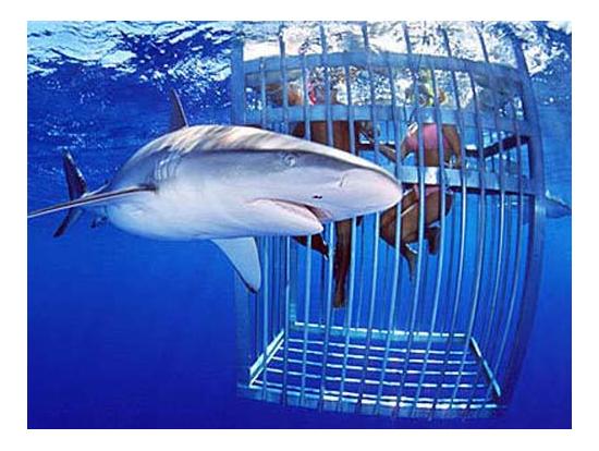 Famous North Shore Shark Cage Diving Adventure, Oahu tours ...