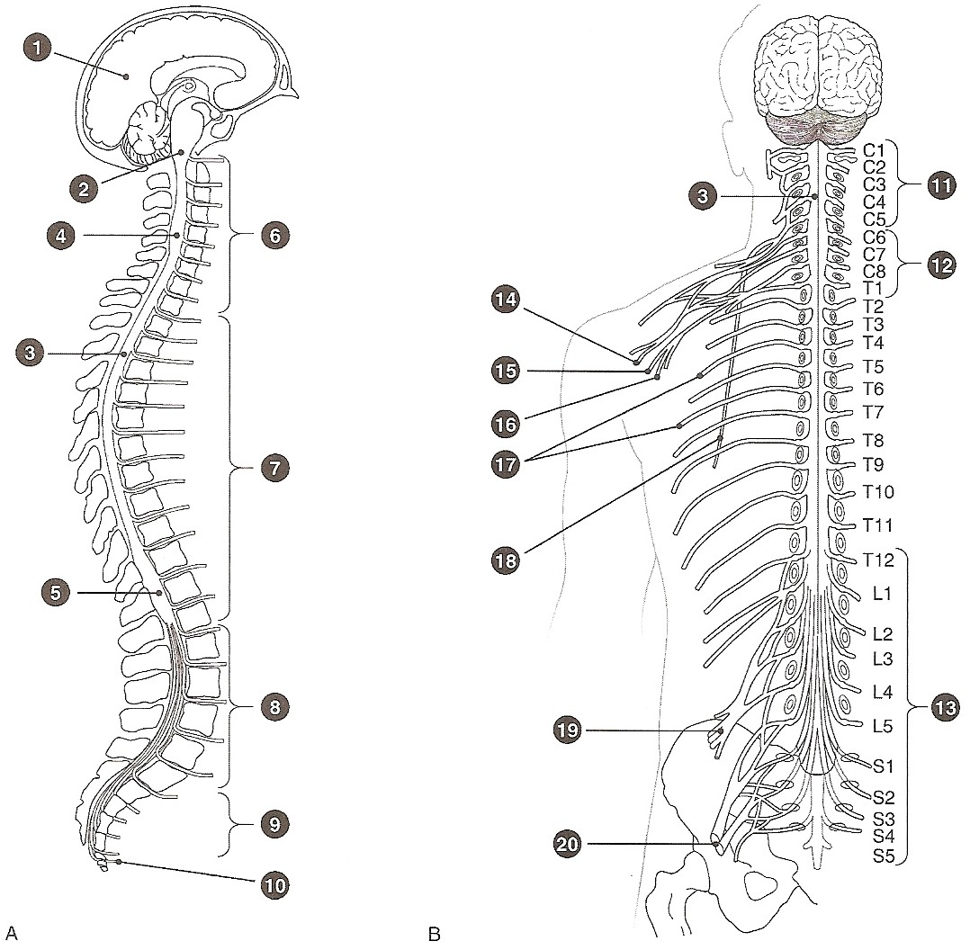 The Spinal Cord Anatomy Of The Spinal Cord Quiz