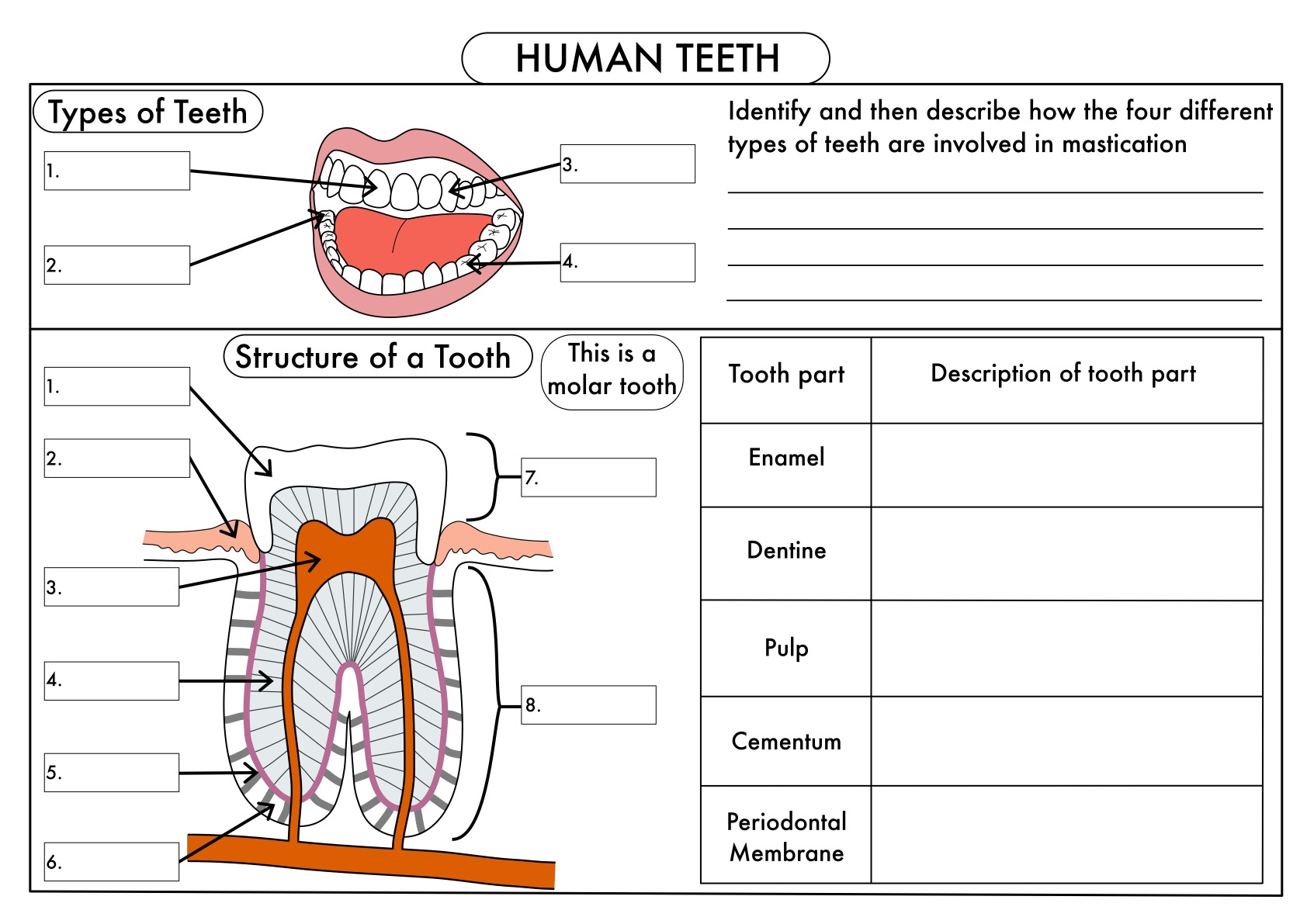 Gcse Digestion Teeth Enzymes And Absorption Bundle