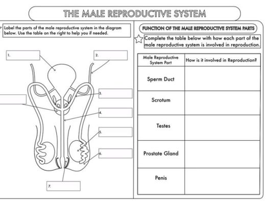 gcse worksheets on human reproduction by beckystoke teaching  female reproductive  system without label male