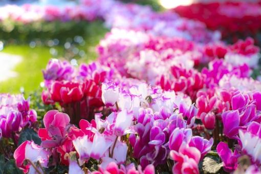 「シクラメンの花の無料写真」の画像検索結果