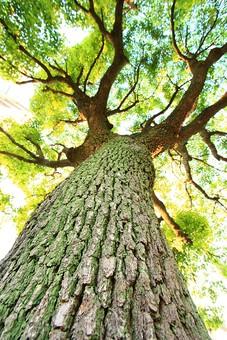 自然 樹木 木 樹 植物 幹 大木 景色 風景 森林 空 青空 森林浴 癒し マイナスイオン 葉 葉っぱ 緑 枝 伸びる 成長 樹皮 成果 透き通る 背景