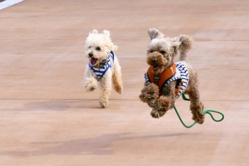 かわいい 仲良し 元気 走る 喜ぶ 駆ける ペット 犬 動物 2匹 ドッグ イヌ ジャンプ いぬ ドッグラン