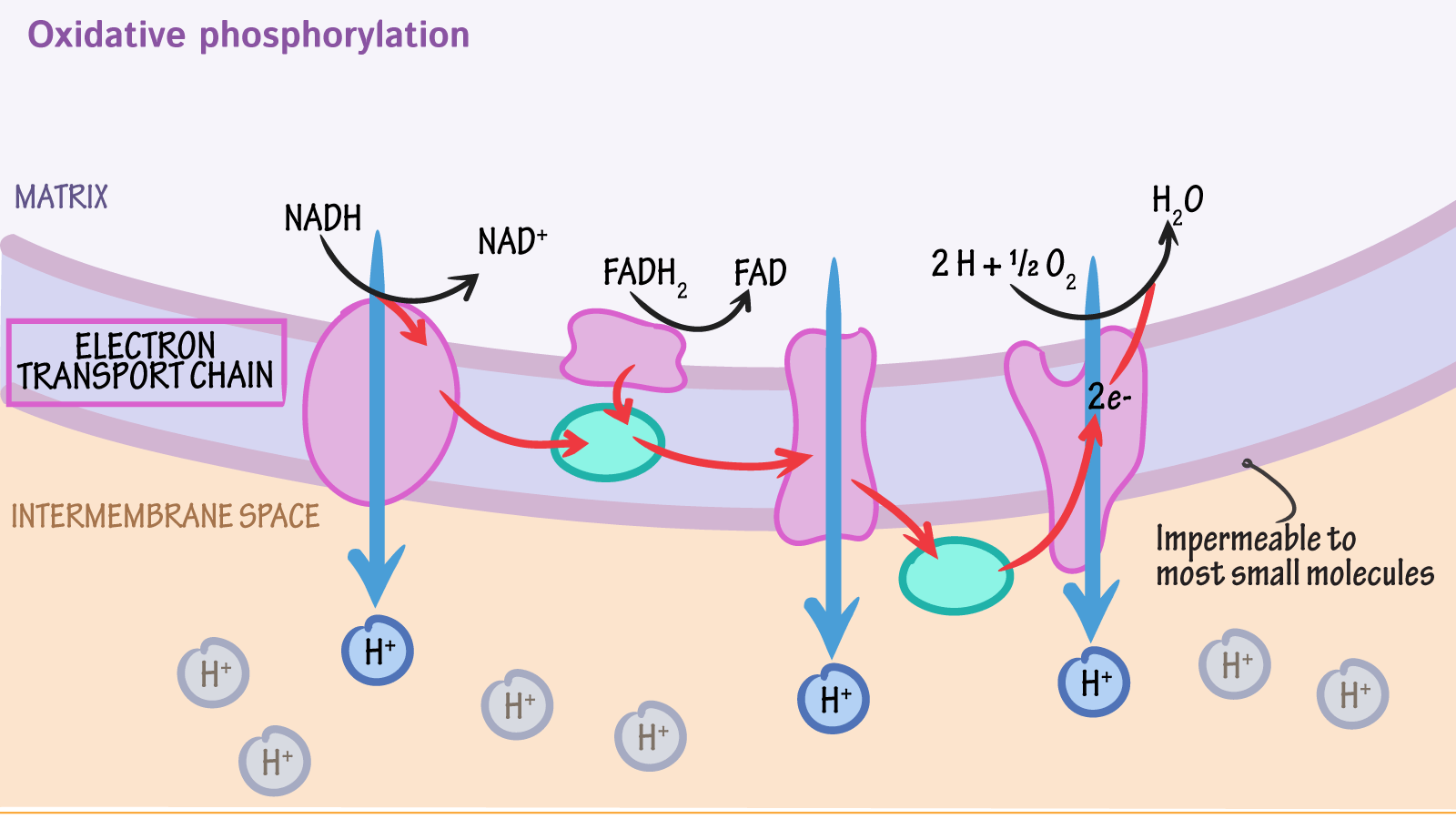Electron Transport Chain Diagram Freeman Pictures To Pin